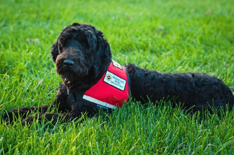"""Black dog with red harness that says """"Working dog, do not pet"""""""