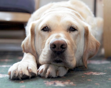 Golden labrador lying down and resting its head on its paws.