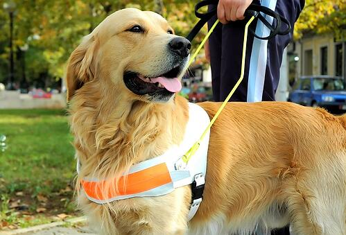 Close up view of trained assistant dog. Golden retriver.