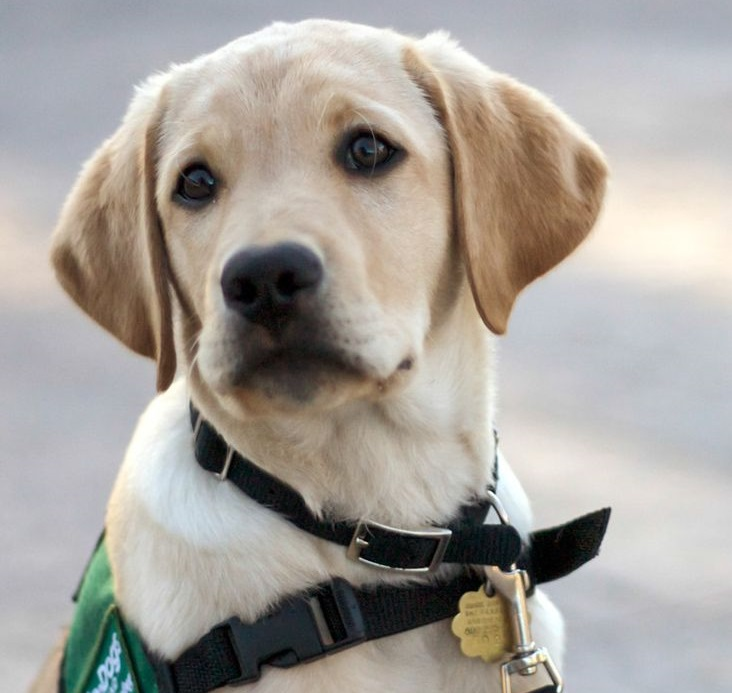 Young labrador puppy in training to become a guide dog.