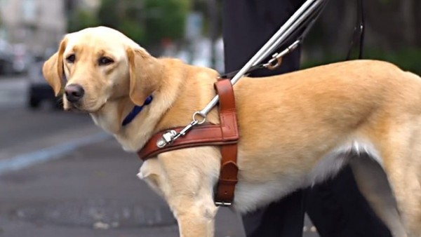 vd-guide-dog-620x349